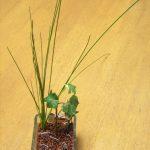 ヒメホタルイという雑草はハイドロカルチャーでも花が咲くほど育つ